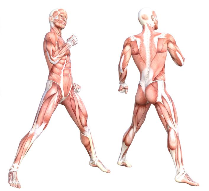 Spieren menselijk lichaam