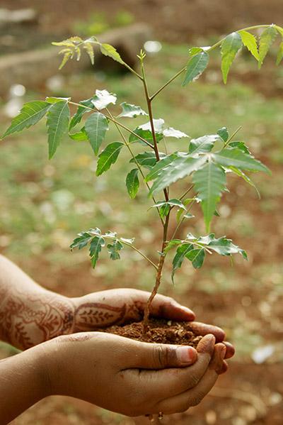 Een neem plant; wat is neem?